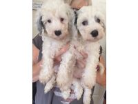 Cockapoo puppies Males and Females - Ready Now!