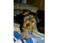 Yorkshire terrier. Female