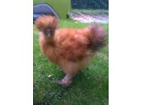 Gold Silkie Bantam for sale