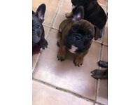 Top quality Kc reg French bulldog puppies available