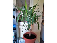 yucca palm for sale