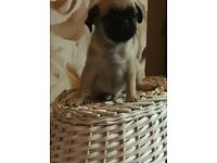 kc reg fawn pug male puppy for sale