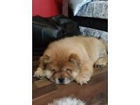 Boy Chow chow 1 year old