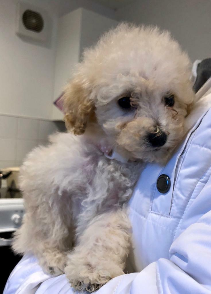 Beautiful f1 poochon puppy's one girl left ready now   in Fetcham, Surrey    Gumtree