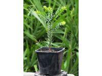 Araucaria Araucana or Monkey Puzzle Tree – UK Outdoor Hardy, 2 Litre Pot