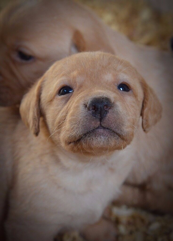 Pure Pedigree Labrador Puppies - Fox Red and Yellow