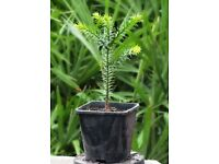 Araucaria Araucana or Monkey Puzzle Tree – UK Outdoor Hardy, 2 Litre Pot