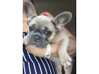 For Sale: 20 week old blue fawn French Bulldog - £800