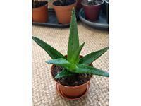 Houseplants - Indoor plants - Succulents - young Aloe 'Black Gem'