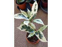 Houseplants - Indoor plants - Croton Tamara