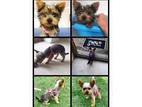 Miniature Yorkshire Terrier puppy