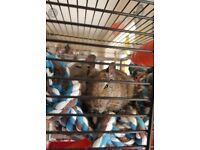 2 male degus for sale