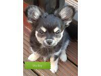 Kc reg long coat Chihuahua puppies