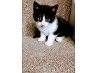 Norwegian forest cat X kitten for sale !!!