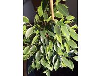 ficus 3ft tall in very large pot-indoor plant