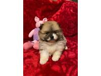 Beautiful Teddy Bears Lhasa x Pomeranian Puppies