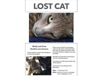 Missing cat. 10 year old lilac oriental female, microchipped, nervous with strangers