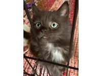 Ragdoll X Male kitten