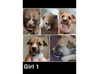 Beautiful bully puppies for sale