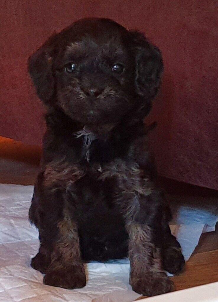 Cavapoo Puppies 3 Available In Bridgend Gumtree