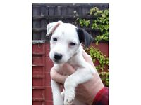 Beautiful Jack Russell Puppies, ready now.