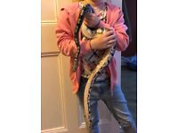 Adult Royal Python Morph and whole set up for sale reluctantly