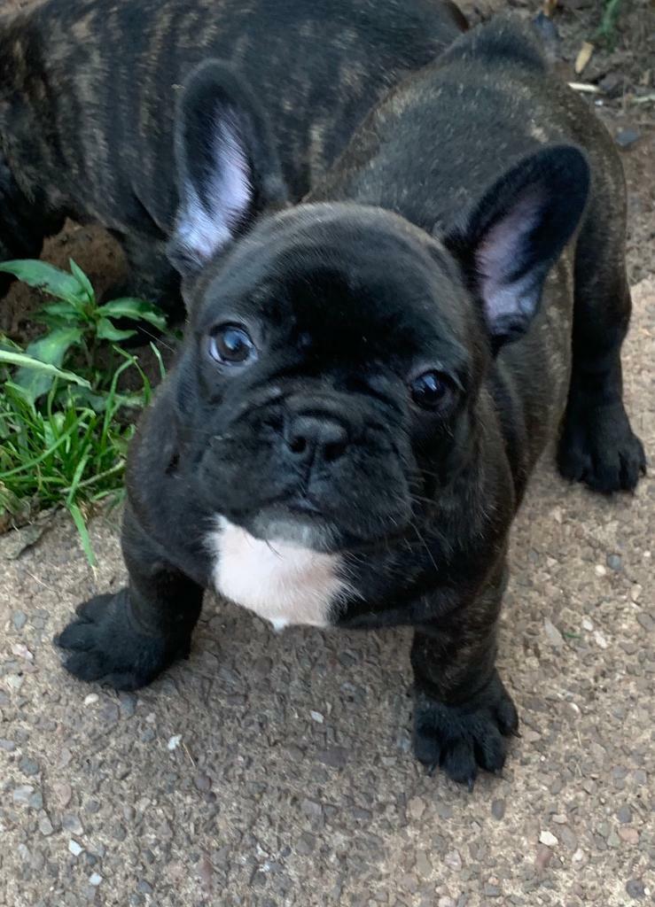 French Bulldog Boy NOW SOLD | in Tamworth, Staffordshire | Gumtree
