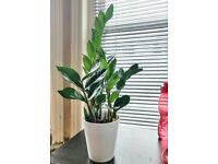 ZZ plant - Live houseplant