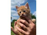 Beautiful Male Kittens For Sale