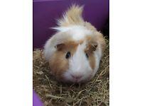 Free guinea pig boy