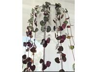 Flowering String of hearts plants.