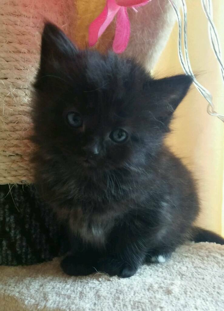 black ragdoll kittens with blue eays in church village rhondda