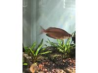 Tropical fish - Large group of rainbowfish and pair of empire gudgeons