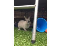 netherlands dwarf rabbit for sale