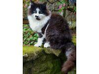 X Norwegian Forest male kitten for sale