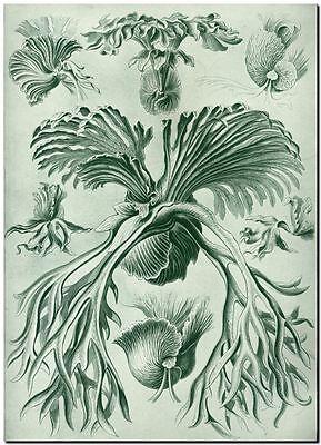 """ERNST HAECKEL CANVAS PRINT Art Nouveau Bird Nest Fern 24""""X 16"""" Filicinae"""