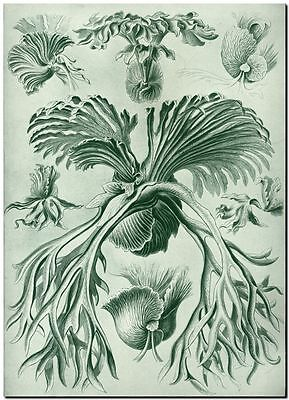 """ERNST HAECKEL CANVAS PRINT Art Nouveau Bird Nest Fern 32""""X 24"""" Filicinae"""