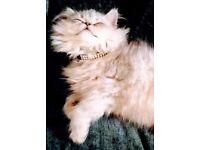 Chinchilla persian kitten