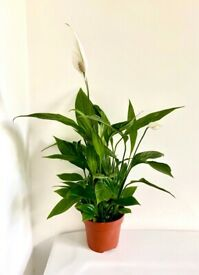 Peace lily indoor house plant