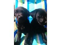 Full bred jet black Labrador puppies for sale.