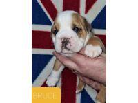 ***Outstanding British Bulldogs***