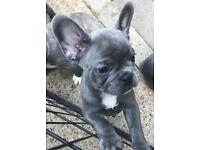 BLUE FRENCH BULLDOGS FOR SALE KC REGISTERED