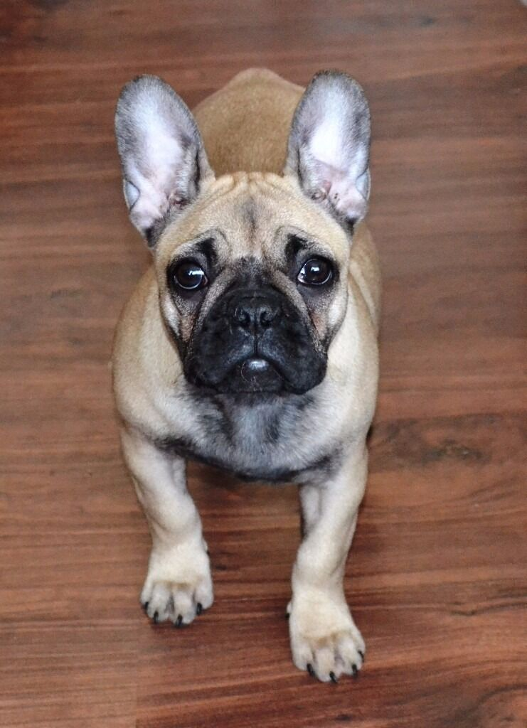 ***SOLD***Quality fawn french bulldog girl for sale