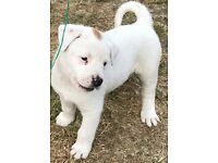 American Akita X American Bull Dog/Staff Bull Terrier Puppies