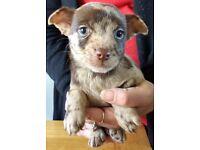 6 Beautiful Patterdale X Chichewa Puppies