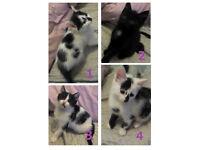 Black & White Kittens - Ready Now!
