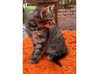 Beautiful kittens for sale Hounslow London £450 each (07472753653)