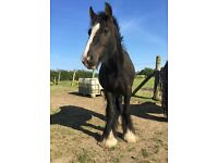 3 Year Old Cob Gelding For Loan