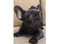 Quality solid Blue French Bulldog Puppy