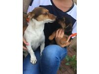 Jackrussel X Chihuahua puppies x